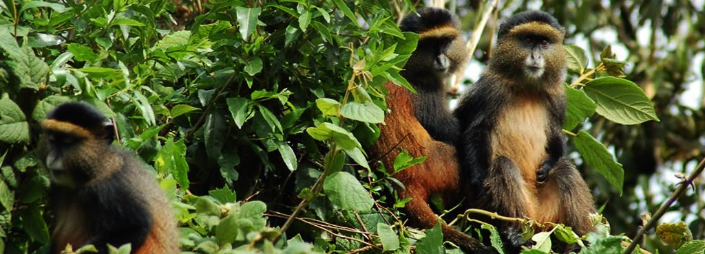 4 Days gorilla and golden monkey safari