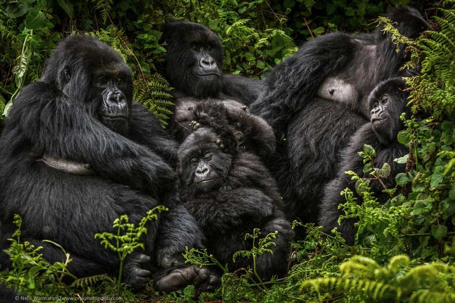4 days gorilla and chimpanzee safari