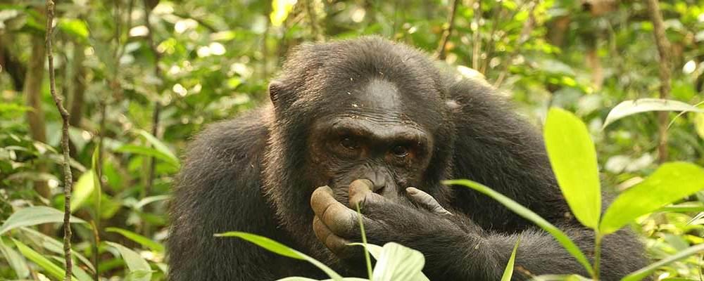 4 Days Chimpanzee and wildlife safari