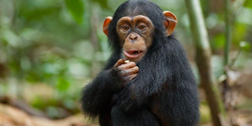 5 Days Chimpanzee and wildlife safari