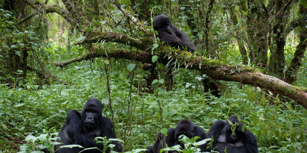6 Days Uganda &Rwanda gorilla and wildlife safari