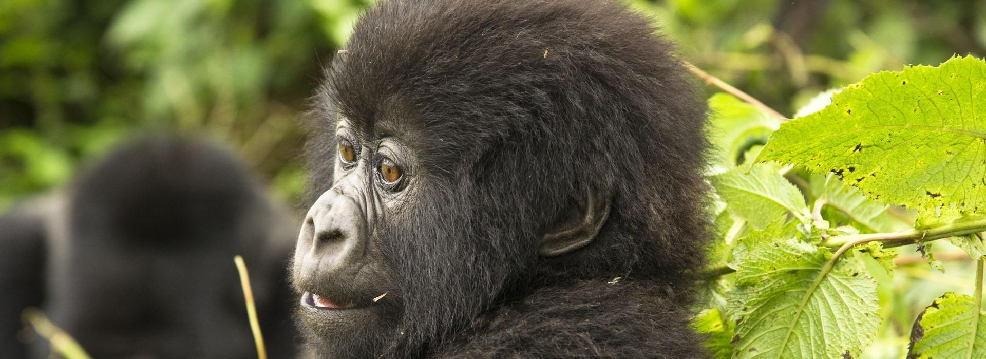 Uganda Gorilla Tours from South Africa