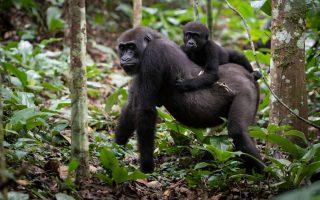 7 Days Congo Gorilla Safari