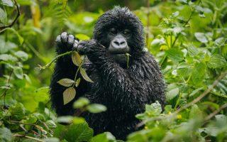 2 Days Virunga Gorilla Trekking Safari