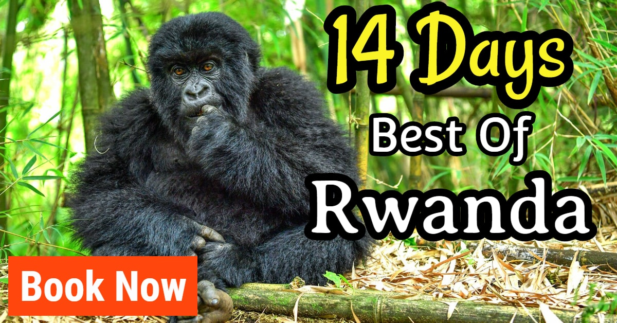 longest gorilla safari