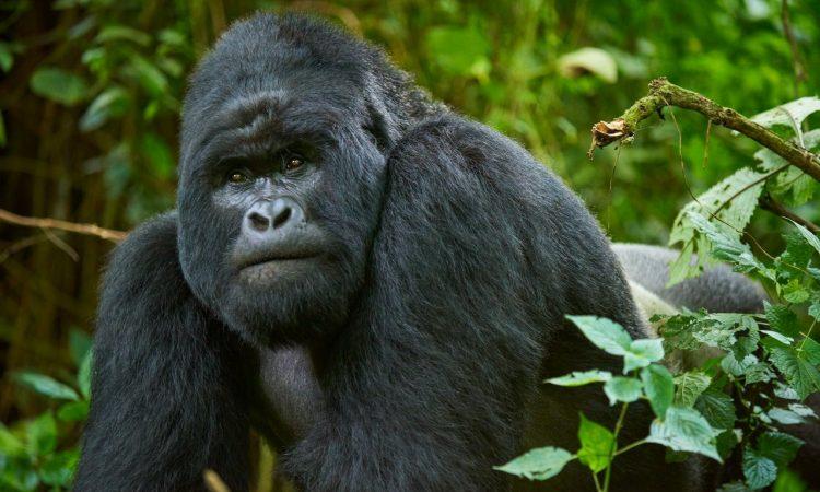 6 Days Great Ape Safari (Chimps, Gorilla & Nyiragongo)
