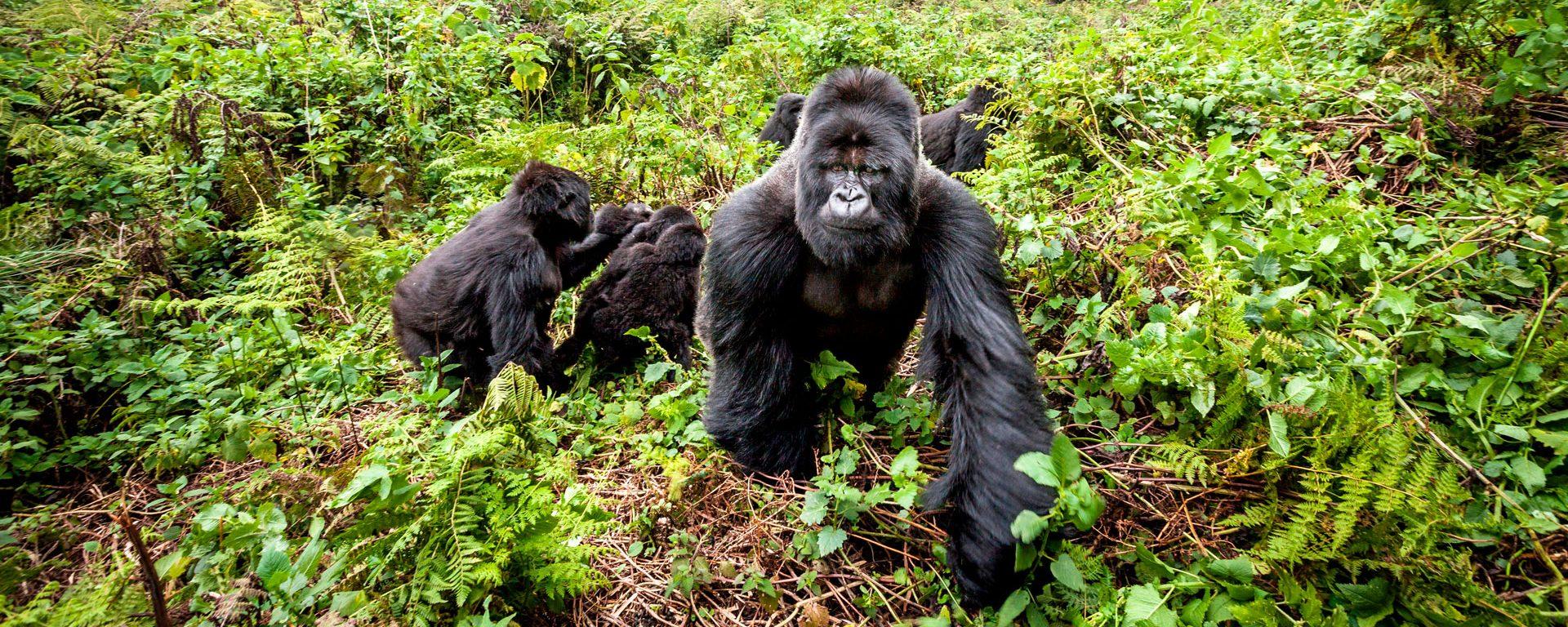 Rwanda gorilla trekking tours & safaris