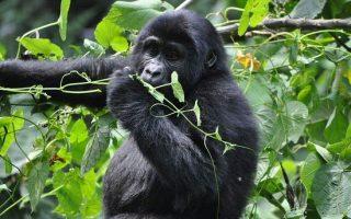 10 days combined Uganda Rwanda safari