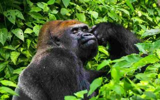 4 Days Kahuzi Biega Lowland Gorilla Trekking Safari