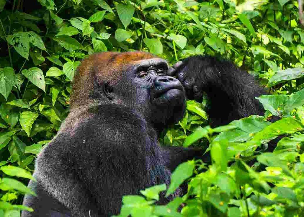 7 Days Akagera, Kahuzi Beiga & Nyungwe forest safari