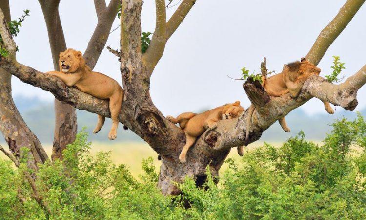 5 days Bwindi gorilla habituation and Queen Elizabeth safaris