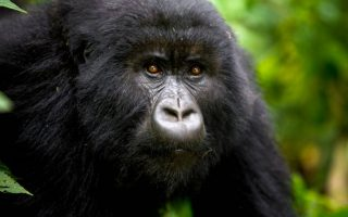 6 days combined Rwanda and Congo safari