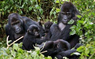 5 days Congo Gorilla trekking and Nyiragongo Hiking