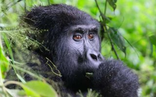 7 Days mountain gorilla trekking safari