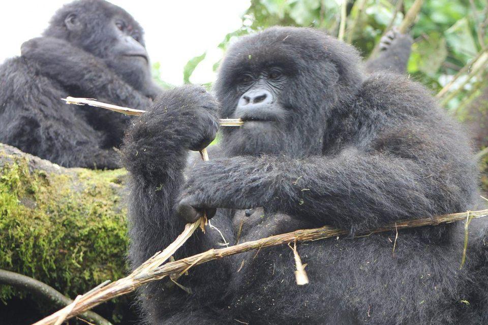 Rwanda Gorilla Trekking Safari 2021 -2023