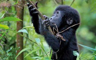 12 days Uganda Gorilla trekking & wildlife safari