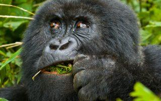 5 Days Uganda Rwanda primates & wildlife safari