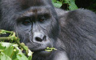 5 days Rwanda Congo Gorilla trekking safari