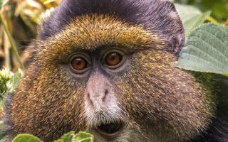 7 days Rwanda primate safari with Gorillas, Golden monkeys & chimpanzees