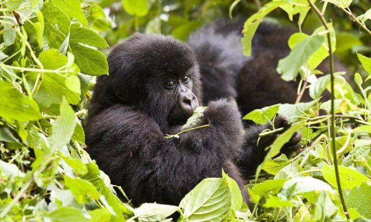 12 Days Kahuzi Beiga & Virunga Classic Package