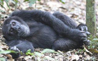 5 Days Great Ape Safari Tour (Chimpanzee and Gorilla trekking)