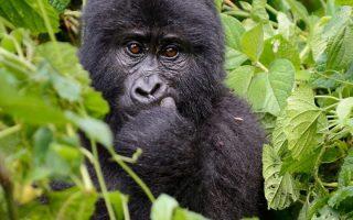 7 Days Rwanda Gorilla & Chimpanzee trekking safari