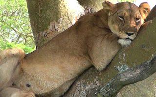 8 Days Rwanda Uganda safari