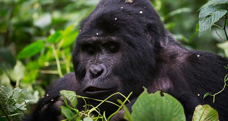8 Days Uganda Gorilla & Chimpanzee trekking safari