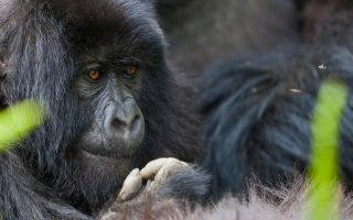 4 Days Uganda Gorillas & Leisure Safari (Gorilla trekking safari in Bwindi & Lake Bunyonyi)