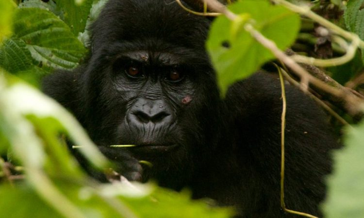 5 Days Luxury Bwindi Gorilla experience