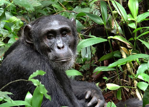 6 Days Uganda Primate Safari tour (Gorillas & Chimpanzees)