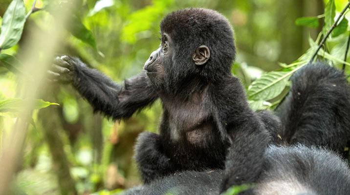 9 Days Uganda Gorilla trekking, Chimpanzee trekking & wildlife safari