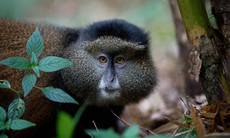 4 Days Uganda Rwanda Cheap Primates safari