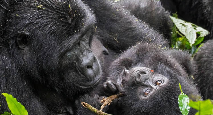 7 Days Congo Gorilla & Chimpanzee trekking Safari: