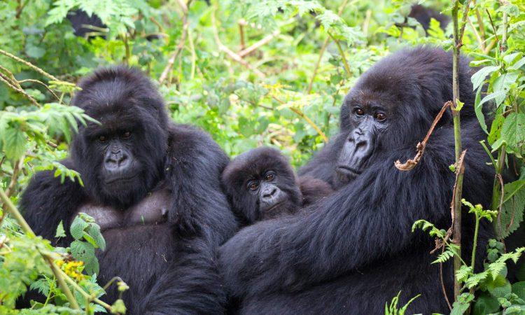 3 Days Gorilla Trekking in Uganda
