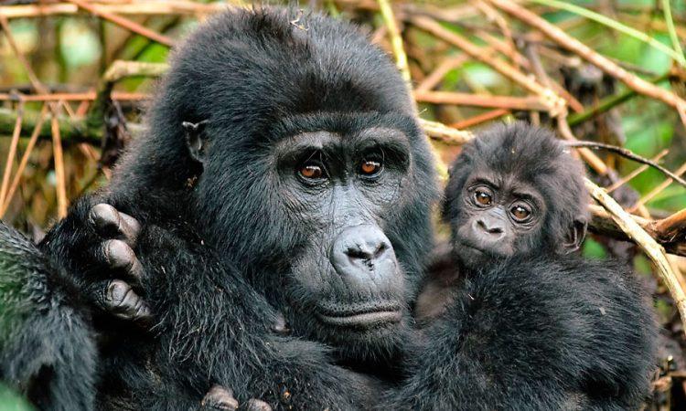 8 Days Uganda Gorilla Trekking & Wildlife Safari