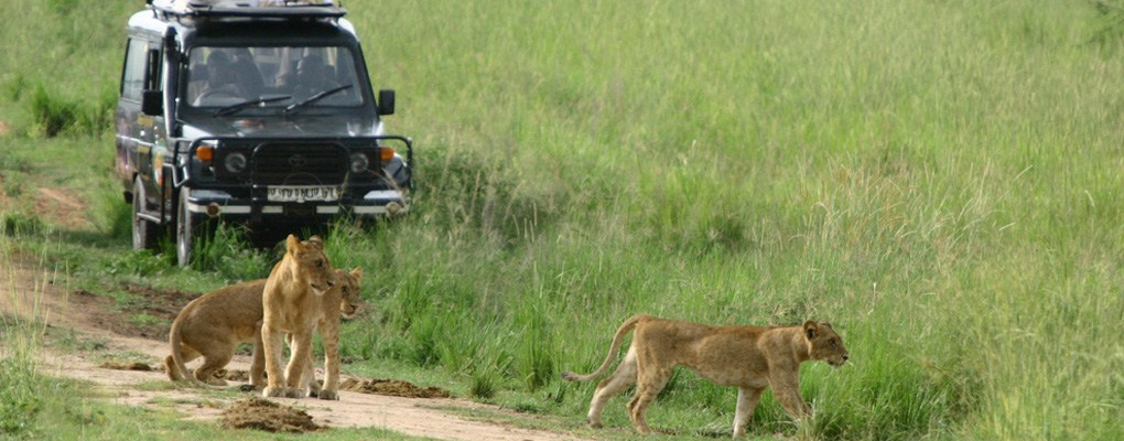 Game Drive/ lion tracking Experience in Kasenyi plains