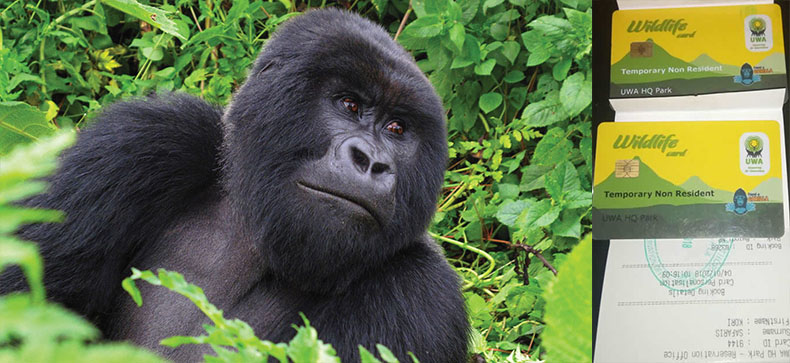How many gorilla permits are available in Uganda per day?