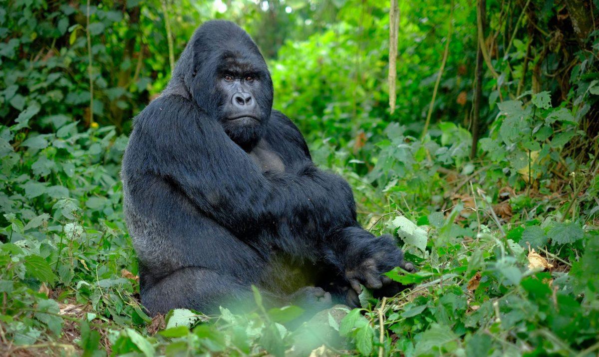 Silver Back Gorilla Tours