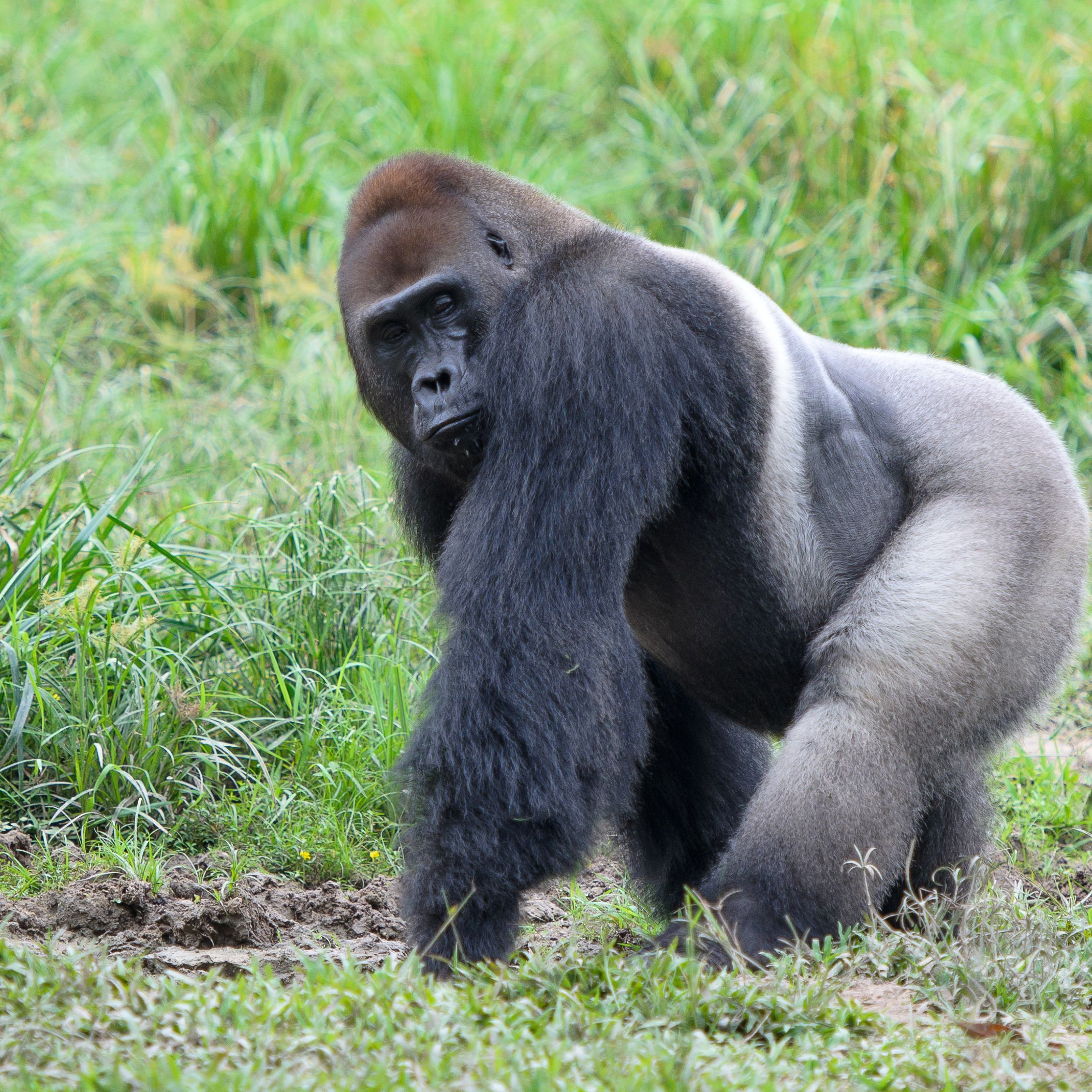 Western Lowland Gorilla –Facts